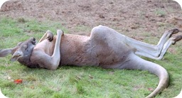wasted kangaroo
