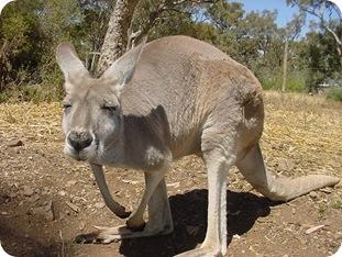 stoned kangaroo