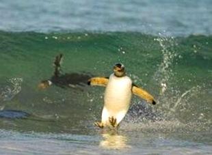 penguin surfing